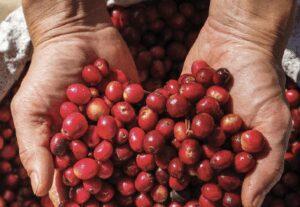 MDF Coffee Cherries